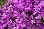 Флокс шиловидный, фото № 26352604, снято 22 мая 2017 г. (c) Natalya Sidorova / Фотобанк Лори
