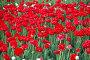 Яркие красные тюльпаны на клумбе, фото № 26352616, снято 13 мая 2017 г. (c) Natalya Sidorova / Фотобанк Лори
