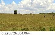 group of herbivore animals in savanna at africa. Стоковое видео, видеограф Syda Productions / Фотобанк Лори