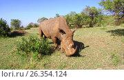 Купить «rhino grazing in savanna at africa», видеоролик № 26354124, снято 15 апреля 2017 г. (c) Syda Productions / Фотобанк Лори