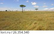 Купить «acacia trees in savanna at africa», видеоролик № 26354340, снято 22 марта 2017 г. (c) Syda Productions / Фотобанк Лори