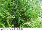 A tree of coniferous species. Стоковое фото, фотограф РифХасанов / Фотобанк Лори