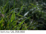 Роса на траве. Стоковое фото, фотограф София Тюленева / Фотобанк Лори