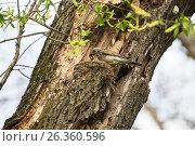 Купить «Дрозд рябинник кормит птенцов дождевыми червями», фото № 26360596, снято 23 мая 2017 г. (c) Юлия Бабкина / Фотобанк Лори