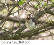 Купить «Дрозд-рябинник. Птенец-слёток на ветке куста», фото № 26360600, снято 23 мая 2017 г. (c) Юлия Бабкина / Фотобанк Лори