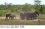 Купить «Африканские слоны. Танзания. Африка», видеоролик № 26361196, снято 15 февраля 2017 г. (c) Сергей Петренко / Фотобанк Лори