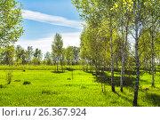 Купить «Листопадное дерево берёза (лат. Betula). Весенний пейзаж с молодой берёзовой рощей. Новосибирская область, Сибирь, Россия», фото № 26367924, снято 21 мая 2017 г. (c) Евгений Мухортов / Фотобанк Лори