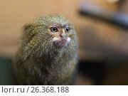 Купить «Pygmy marmoset or Cebuella pygmaea», фото № 26368188, снято 27 марта 2019 г. (c) Mikhail Starodubov / Фотобанк Лори