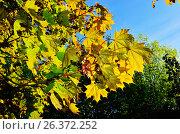 Купить «Листья клёна крупным планом в контровом свете», фото № 26372252, снято 11 мая 2015 г. (c) Сергей Трофименко / Фотобанк Лори