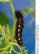 Red admiral (Vanessa atalanta, Pyrameis atalanta), caterpillar feeding on nettle, Germany. Стоковое фото, фотограф F. Hecker / age Fotostock / Фотобанк Лори