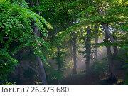Купить «Common beech (Fagus sylvatica), light beams in a beech forest, Germany, Mecklenburg-Western Pomerania, Ruegen, Koenigsstuhl», фото № 26373680, снято 10 июня 2006 г. (c) age Fotostock / Фотобанк Лори