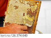 Купить «Honey bee, hive bee (Apis mellifera mellifera), beemaster removing wax from honeycombs, Germany, Bavaria, Niederbayern, Lower Bavaria», фото № 26374640, снято 22 мая 2015 г. (c) age Fotostock / Фотобанк Лори