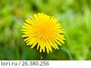 Купить «Желтый одуванчик на фоне травы, крупный план», фото № 26380256, снято 27 мая 2017 г. (c) Екатерина Овсянникова / Фотобанк Лори