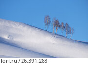 Купить «Belt of birch trees under hoarfrost on snow heels under blue sky in winter season», фото № 26391288, снято 19 января 2017 г. (c) Serg Zastavkin / Фотобанк Лори