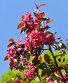 Ветка цветущей декоративной яблони сорта Роялти (Royalty) на фоне голубого неба, фото № 26391428, снято 24 мая 2017 г. (c) Валерия Попова / Фотобанк Лори
