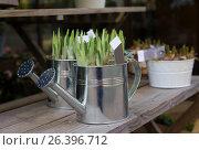 Купить «Hyacinth bulbs in the pots for planting spring», фото № 26396712, снято 4 февраля 2017 г. (c) Ирина Кучугурина / Фотобанк Лори