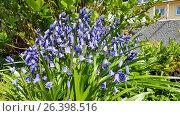 Купить «Jacinthe (Hyacinthus orientalis), blooming», фото № 26398516, снято 1 мая 2016 г. (c) age Fotostock / Фотобанк Лори