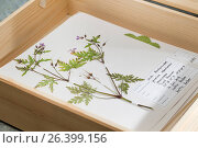 Herb Robert, Red Robin, Death come quickly, Robert Geranium (Geranium robertianum, Robertiella robertiana), ready herbarium sheet in a box, Germany. Стоковое фото, фотограф F. Hecker / age Fotostock / Фотобанк Лори