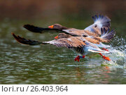 Купить «Greylag goose (Anser anser), two greylag geese starting from the water, side view, Germany, Lower Saxony», фото № 26403964, снято 16 марта 2015 г. (c) age Fotostock / Фотобанк Лори