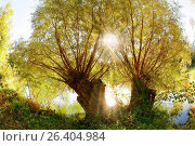 White willow (Salix alba), tree on the bank in backlight, Germany, Baden-Wuerttemberg, Kehl. Стоковое фото, фотограф A. Laule / age Fotostock / Фотобанк Лори