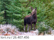 Купить «Elk, European moose (Alces alces alces), cow elk in a forest, Sweden, Vaestergoetland», фото № 26407456, снято 14 сентября 2016 г. (c) age Fotostock / Фотобанк Лори