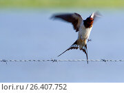 Купить «Swallow taking off from a barbed wire, Spain.», фото № 26407752, снято 23 апреля 2019 г. (c) age Fotostock / Фотобанк Лори