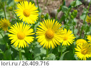 Дороникум (лат. Doronicum) в саду. Стоковое фото, фотограф Елена Коромыслова / Фотобанк Лори