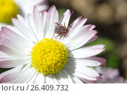 Клещ (лат. Acarina) на цветке маргаритки. Стоковое фото, фотограф Елена Коромыслова / Фотобанк Лори