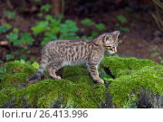 Купить «European wildcat, forest wildcat (Felis silvestris silvestris), kitten in a forest on a tree snag, Germany», фото № 26413996, снято 4 июня 2016 г. (c) age Fotostock / Фотобанк Лори