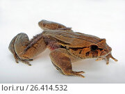 Hairy frog, horror frog, wolverine frog (Trichobatrachus robustus, Astylosternus robustus), cutout. Стоковое фото, фотограф B. Trapp / age Fotostock / Фотобанк Лори