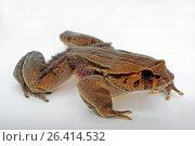 Купить «Hairy frog, horror frog, wolverine frog (Trichobatrachus robustus, Astylosternus robustus), cutout», фото № 26414532, снято 6 сентября 2012 г. (c) age Fotostock / Фотобанк Лори