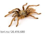 Orange baboon tarantula, Mombasa golden starburst tarantula (Pterinochilus murinus, Pterinochilus mamillatus), TCF morph, cut-out, Kenya. Стоковое фото, фотограф B. Trapp / age Fotostock / Фотобанк Лори