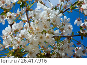Купить «Цветущая вишня на фоне неба», фото № 26417916, снято 24 мая 2017 г. (c) Татьяна Белова / Фотобанк Лори