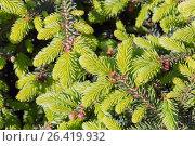 Декоративное низкорослое дерево ель обыкновенная «Нидиформис» (лат. Picea abies «Nidiformis»). Ветви с весенним приростом хвои крупным планом. Стоковое фото, фотограф Евгений Мухортов / Фотобанк Лори