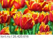 Купить «Бахромчатые тюльпаны», фото № 26420616, снято 26 мая 2017 г. (c) Татьяна Белова / Фотобанк Лори