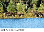 Купить «Eastern moose, Taiga moose, American moose, Canadian Moose, Northeastern moose (Alces alces americana, Alces americana), moose family at a lakeshore, USA, Maine, Baxter State Park», фото № 26422988, снято 24 августа 2019 г. (c) age Fotostock / Фотобанк Лори