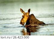 Купить «Eastern moose, Taiga moose, American moose, Canadian Moose, Northeastern moose (Alces alces americana, Alces americana), cow moose feeding aquatic plants, USA, Maine, Baxter State Park», фото № 26423000, снято 24 августа 2019 г. (c) age Fotostock / Фотобанк Лори