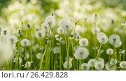 Купить «Dandelions at the meadow», видеоролик № 26429828, снято 25 мая 2017 г. (c) Илья Шаматура / Фотобанк Лори