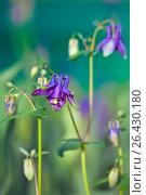 Купить «Цветок - Аквилегия махровая розовая - водосбор (Aquilegia vulgaris)», фото № 26430180, снято 1 июня 2017 г. (c) Татьяна Белова / Фотобанк Лори