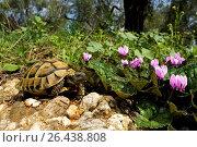 Купить «Hermanns tortoise, Greek tortoise, Boettgers tortoise (Testudo hermanni boettgeri), with cyclamen, Greece, Peloponnese, Messinien, Pylos», фото № 26438808, снято 28 октября 2007 г. (c) age Fotostock / Фотобанк Лори