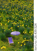 Narcissus meadow with canvas chair and sunshade. Стоковое фото, фотограф McPHOTO / age Fotostock / Фотобанк Лори