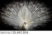 Жар птица! Стоковое фото, фотограф Игорь Горелик / Фотобанк Лори