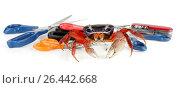 Купить «Rainbow crab, West African rainbow crab (Cardisoma armatum), with scissors», фото № 26442668, снято 25 мая 2020 г. (c) age Fotostock / Фотобанк Лори