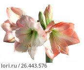Купить «Amaryllis (Hippeastrum spec.), blossom», фото № 26443576, снято 24 апреля 2019 г. (c) age Fotostock / Фотобанк Лори