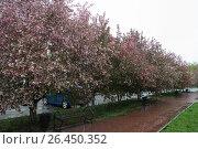 Аллея цветущих яблонь. Стоковое фото, фотограф Dan / Фотобанк Лори