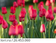 Купить «Красные тюльпаны растут на клумбе», эксклюзивное фото № 26453060, снято 22 мая 2017 г. (c) Игорь Низов / Фотобанк Лори