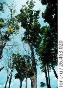 Mahogany (Swietenia macrophylla), habit. Стоковое фото, фотограф R. Koenig / age Fotostock / Фотобанк Лори