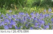 Купить «Spring flowering. Beautiful blue flowers sway in the wind. Vegetation in the meadow, removed from the ground level. Video shot on the iPhone 7 Plus», видеоролик № 26476084, снято 6 июня 2017 г. (c) Vadzim Yakubovich / Фотобанк Лори