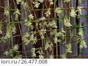 Купить «Meadowsweet, queen-of-the-meadow (Filipendula ulmaria), is dried on a grid made of willow twigs, Germany», фото № 26477008, снято 13 июля 2016 г. (c) age Fotostock / Фотобанк Лори