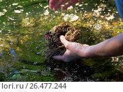 Купить «Common evening primrose (Oenothera biennis), roots of evening primeroses are washed, Germany», фото № 26477244, снято 31 августа 2016 г. (c) age Fotostock / Фотобанк Лори